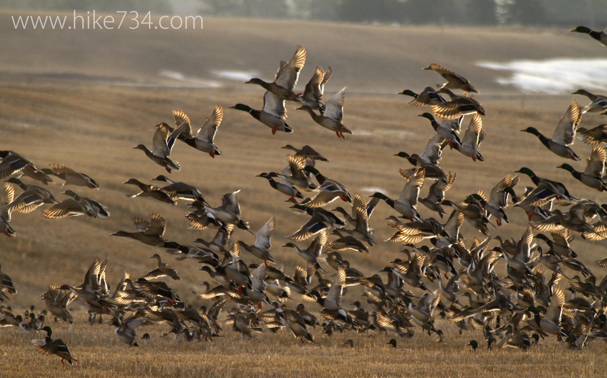 Mallards, Northern Pintails and American Wigeons take flight from a field