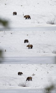 Grizzly Bears Interacting