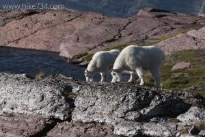 Mountain Goats at Comeau Pass