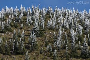 Frosted Firs