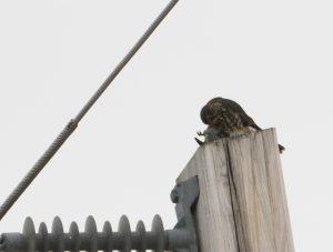 Merlin eating Bohemian Waxwing