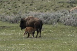 Bison Nursing