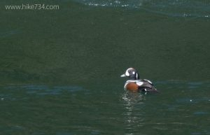 Harlequin Duck Survey